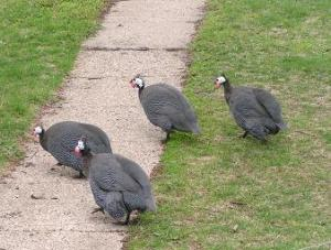 Guineas are part of our natural pest control.